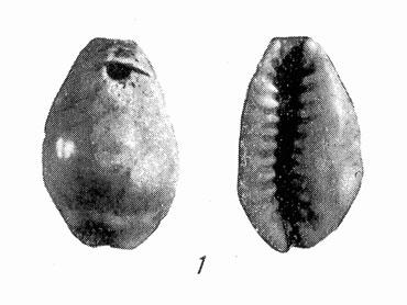 Рис. 1. Раковина каури (просверленная)